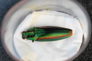 玉虫15-93