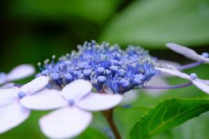 紫陽花16-71