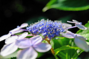 紫陽花16-72