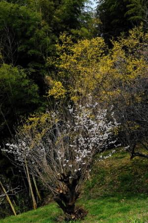 桜と17-33