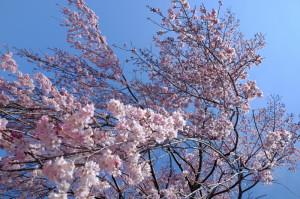枝垂桜17-41