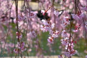 枝垂桜17-42