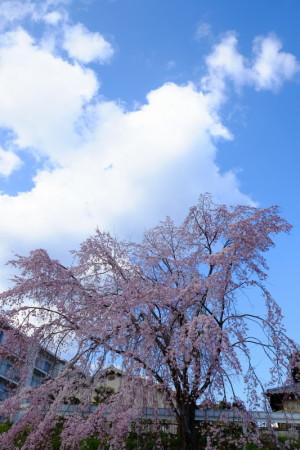 枝垂桜枝垂桜17-43