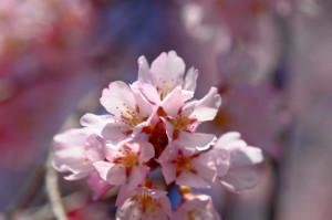 桜マクロ17-42