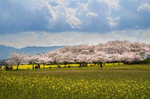 桜20-40