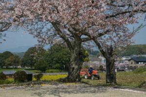 桜20-42