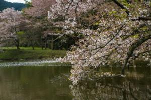 桜20-43